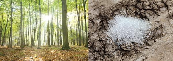 Natürliche Süße aus europäischen Wäldern - Xylitol-Kristalle auf Birkenrinde